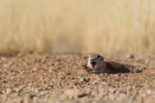 Arizona Round Tailed Ground Squirrel Looking Silly With Open Mouth Face Yelling And Reaching For Something Screaming Perfect Funny Animal Meme Raising Hand Saying Pick Me