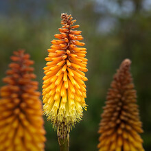 Redhot Poker Flower In Bloom I...