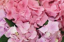 Hydrangea Pink Petals Close Up...