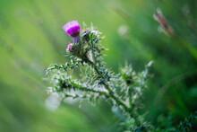 Carduus Acanthoides - Pink Thi...