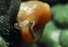Slug Eating Lettuce Leaf. Snai...
