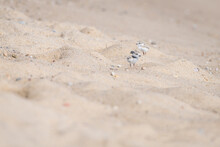 Baby Piping Plover Play Around In The Sand Hills