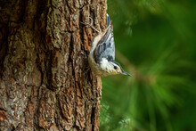 White Breasted Nuthatch Upside...