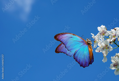 Fotografie, Obraz bright blue tropical morpho butterfly on white flowers against a blue sky