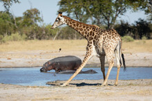 Giraffe Drinking Water With Two Hippos Sitting In The Dam In The Background In Moremi Okavango Delta Botswana