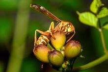 Texas Paper Wasp - Polistes Ap...