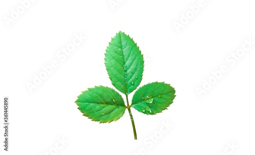 Rose green leaf with serrate margin isolated on white background Tapéta, Fotótapéta