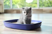 Cute British Shorthair Kitten ...