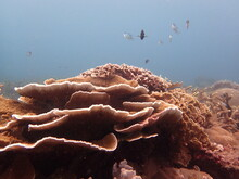 The Coral Reef Area At Tioman ...