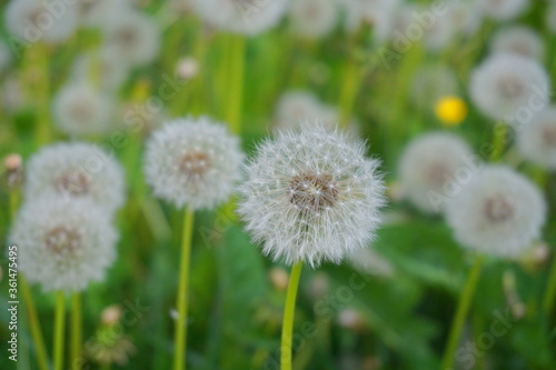 Fototapety, obrazy: Meadow of beautiful and delicate dandelions seed head in green grass close up.