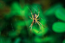 European Garden Spider, Neoscona Adianta, On Its Orb Web Waiting For A Prey, Ventral View With Green Background