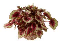 Begonia Rex Isolated On White Background