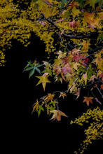 Japanese Autumn Colered Leaves Momiji