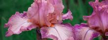 Beautiful Pink Iris Flowers Grow In The Garden.