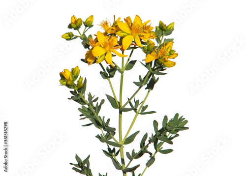 Fototapety, obrazy: Yellow flowers of common or perforate St John's wort plant isolated on white, Hypericum perforatum