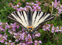 The Scarce Swallowtail Butterf...