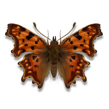The Comma Butterfly Illustrati...