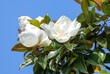 Leinwandbild Motiv A large white magnolia flower on tree branches