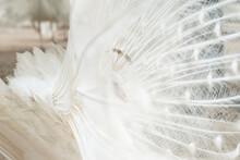 Albino Peacock Bird Displaying...