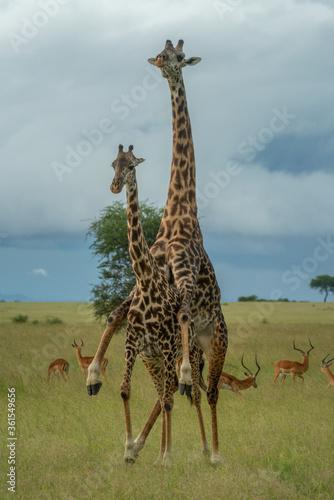 Male Masai giraffe mounts female near impala Canvas Print