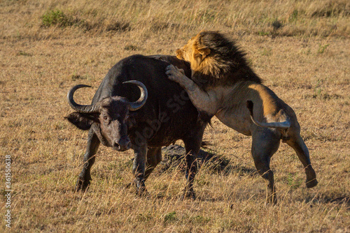 Male lion grabs Cape buffalo by hindquarters