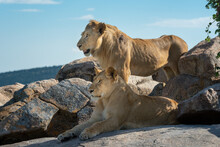 Male Lion Stands By Lioness On...