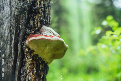 Fotografering Dew drops on large red polypore on tree