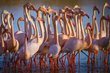 Flocking Flamingos In The Cama...