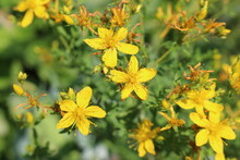 Bright Yellow Hypericum Flowers Blooming In The Summer Meadow