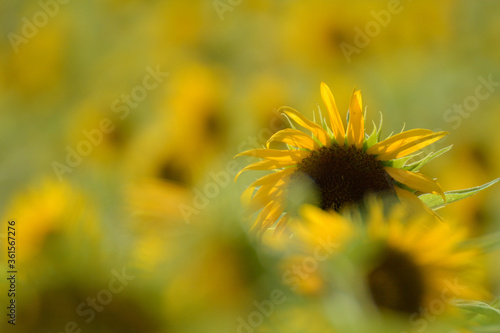 Fototapety, obrazy: ひまわり畑にたくさんのひまわりが咲いています。 Many sunflowers are in bloom in the sunflower field.