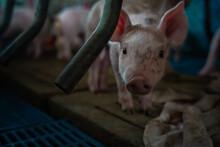 Small Piglet In Breeding Pig F...