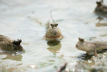 The Close Up Of Mudskipper (in...