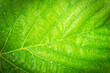 canvas print picture - Green leaf with water drops for background