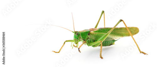 Photo Locust isolated on white.