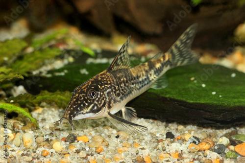 Foto Catfish banded corydoras or bearded catfish Aquarium Fish Corydoras barbatus