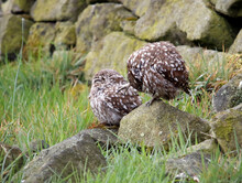 Little Owls Preening After A R...