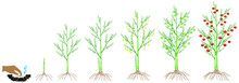 A Growth Cycle Of A Asparagus Plant On A White Background.