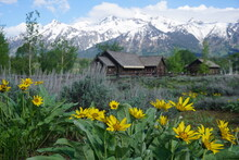 Yellow Flowers In Front Of The Chapel Of The Transfiguration - Grand Teton National Park, USA