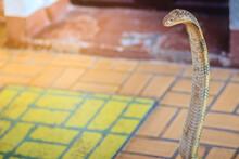 King Cobra (Ophiophagus Hannah...