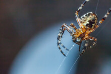 Arachnophobia Fear Of Spider Bite Concept. Macro Close Up Spider On Cobweb Spider Web On Blurred Blue Background. Life Of Insects. Horror Scary Frightening Banner For Halloween.