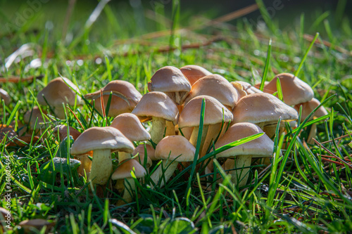 Group of mushrooms on the lawn Wallpaper Mural