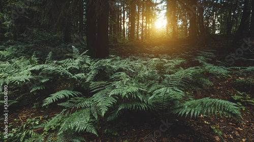 Fotomural Landscape background with bushes of dark green fern in the coniferous forest after rain