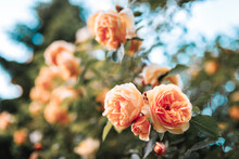 Beautiful Bush Of Orange Roses...
