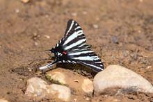 Zebra Swallowtail Butterfly On...