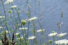 Budding Little White Flower By...