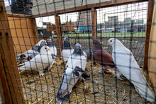 Pigeons In The Cage