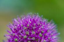 Purple Wild Onions Fluffy With Stamens