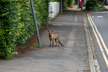 A Fox Roaming The Streets In E...