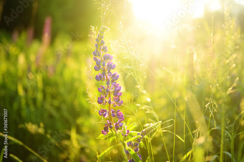 Fototapeta Close up of lupine flowers in field on sunset. obraz