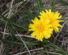 False Dandelion (Agoseris Glauca) Yellow Wildflowers In Beartooth Mountains, Montana